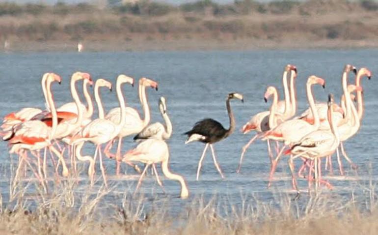 На озеро Акротини на Кипре вернулись уникальные черные фламинго.