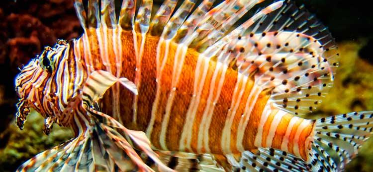 Fish lionfish.